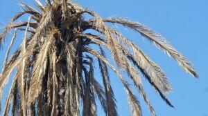 Warszawska palma... uschła