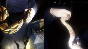 Miał grozić bronią. Zamiast niej policja znalazła... dwa węże boa