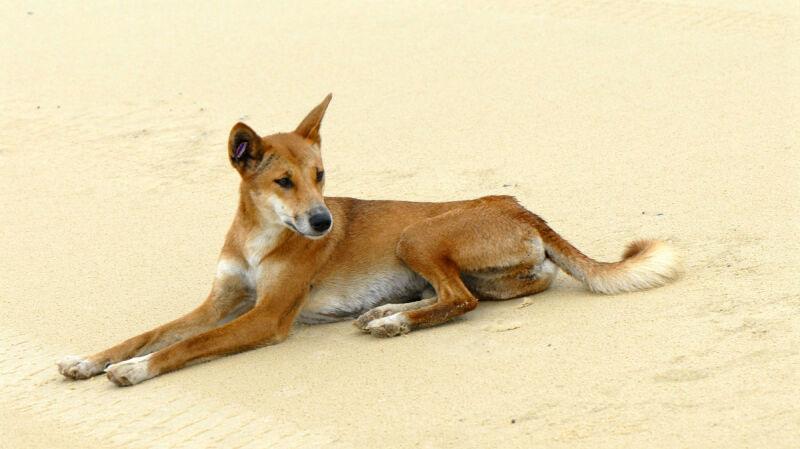 Pies dingo (birsbane/Wikipedia/CC-BY-SA)