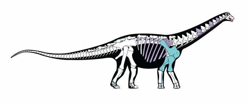 Rekonstrukcja szkieletu mansurazaura (Andrew McAfee, Carnegie Museum of Natural History))