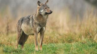 """Rolnicze OPZZ chce odstrzału wilków i łosi. Eksperci: """"decyzja musi być oparta na wiedzy naukowej"""""""