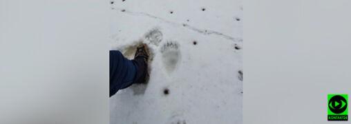 """Ślady niedźwiedzia na szlaku pod Babią Górą. """"Duże zwierzęta są bliżej niż nam się wydaje"""""""